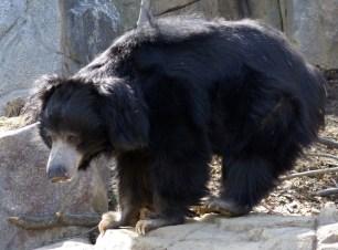 Padmaja Naidu Himalayan Zoological Park Sloth Bear
