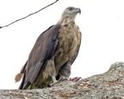 Pallas Fish Eagle