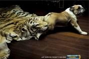 Kodak-Tiger-Rug