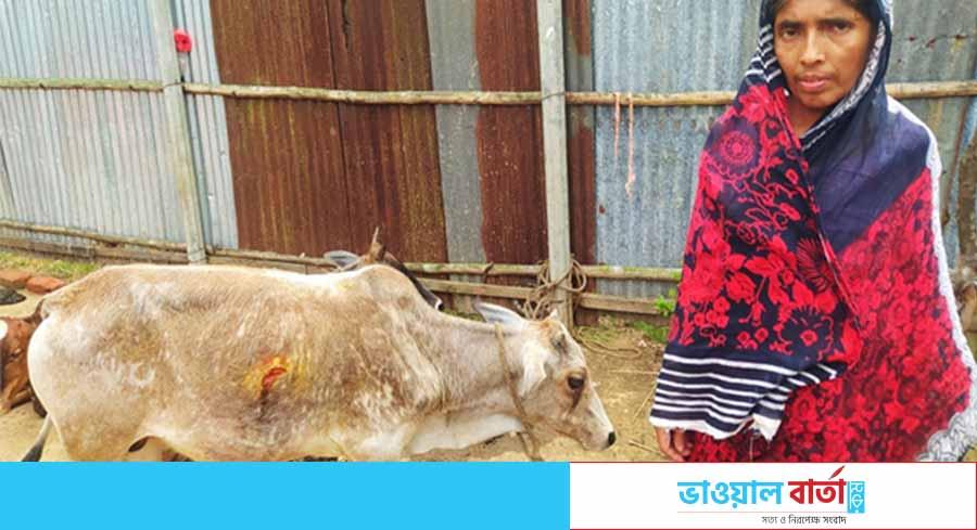 বিধবা - বিধবা রোকেয়ার দুইটি গরু ধান ক্ষেতে যাওয়ায় কুপিয়েছে জমি মালিক - সত্য ও নিরপেক্ষ সংবাদ