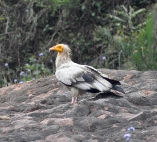 An Egyptian Vulture near Pong Dam