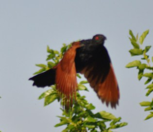 Greater coucal in flight
