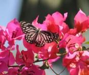 Wanderer Butterfly - Female