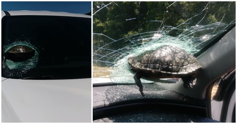 'Tartaruga voadora' atravessa para-brisa de carro e assusta motorista