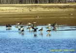 Geese standing in some water at Creamer's Field in Fairbanks, Alaska.