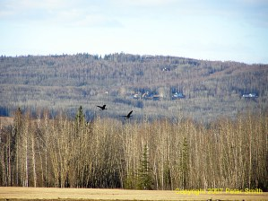 Here are a pair of flying Geese at Creamers Field in Fairbanks, Alaska.