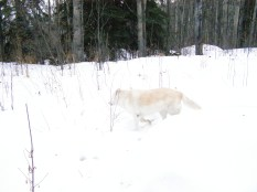 Goldie walking in the snow.