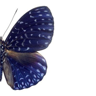 butterfly-print-hamadryas-velutina-02-amara