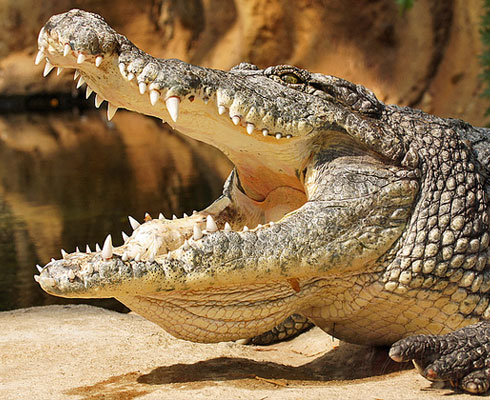 Padenga Holdings To Develop Local Markets For Crocodile Meat