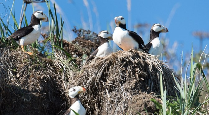 Puffins of Tuxedni National Wildlife Refuge