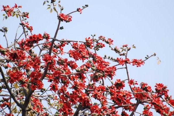 SEMAL Tree (Bombax ceiba)