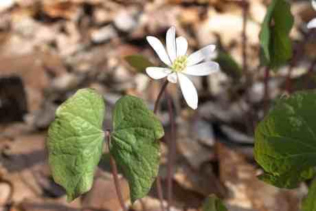 Bowman's Hill Wildflower Preserve | Twinleaf