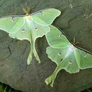 Luna moth (Actias luna) | BHWP