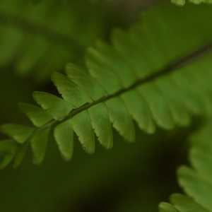 Maidenhair Fern - Jason Ksepka