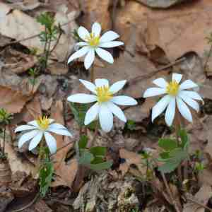Bloodroot (Sanguinaria canadensis) Photo: Jean Barrell