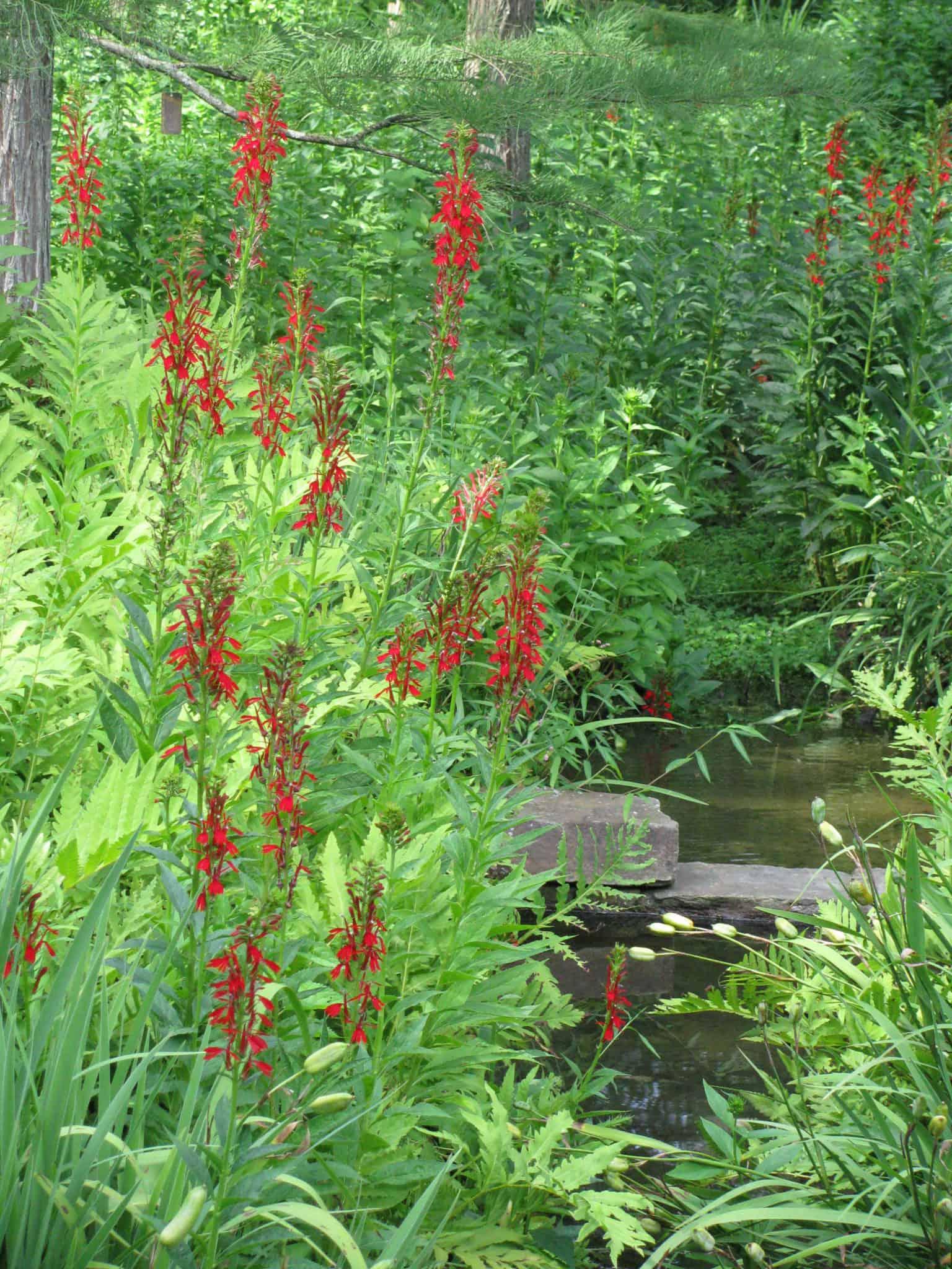 Home July Grow Lobelia Cardinalis Bhwp Bowmans Hill Wildflower