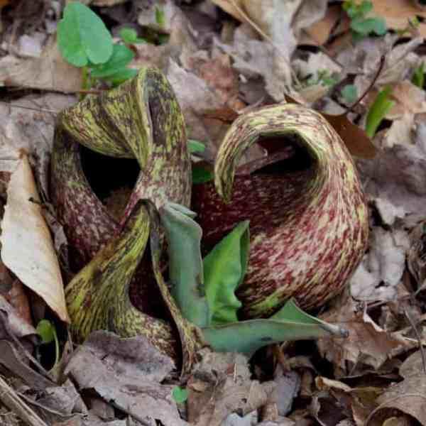 Skunk cabbage (Symplocarpus foetidus) by Jean Barrell