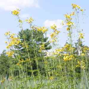 Tickseed, tall (Coreopsis tripteris) 4 inch pot Image