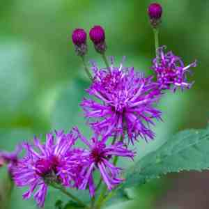 New York Ironweed (Vernonia noveboracensis) Image