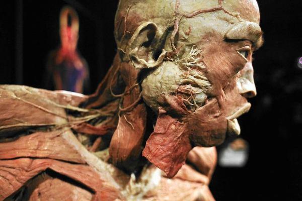 """Wystawa """"cia Ludzkie. Human Body Exhibition"""" Krakowie - Zdjcie Nr 9"""