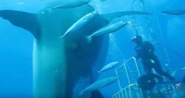 Uchwycona na nagraniu Deep Blue ma nieco ponad 6 metrów długości i zapewne jest w ciąży