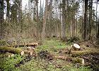 Ślady po wycince w Puszczy Białowieskiej