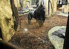 Goryl rozwścieczony przez ludzi w zoo. Rozbił szybę [WIDEO]