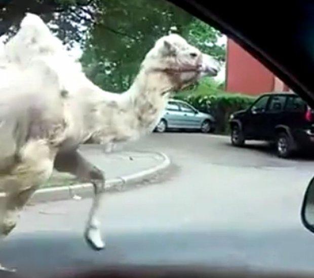 Wielbłąd uciekł z cyrku, który występował w Legnicy