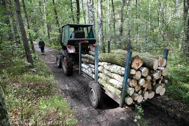 Wycinka drzew w lesie. Lasy Państwowe wycinali więcej drzew, niż wymagała tego ekologia i... ekonomia. Wypłacali sobie za to większe pensje.