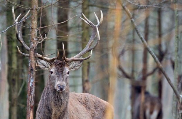 Waga poroża u jeleni może przekraczać nawet 10 proc. masy ciała