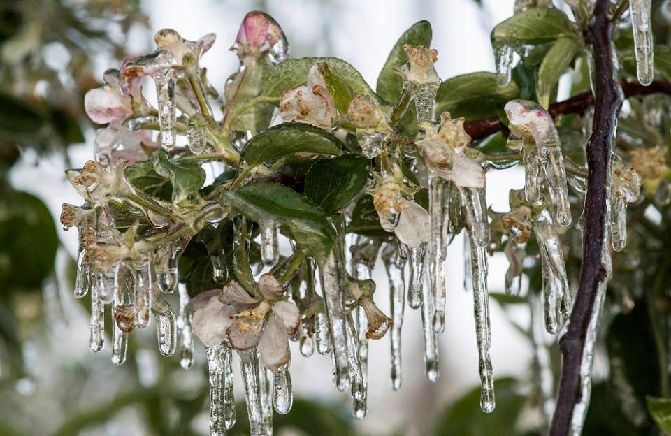 Zamarznięte kwiaty jabłoni, z których w tym roku nie będzie owoców