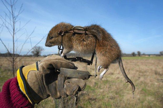Szczur wędrowny jest roznosicielem chorób, pożera też jaja ptaków,<br /> doprowadzając do ginięcia wielu ich gatunków