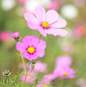 コスモスの花の画像 コスモスまつり