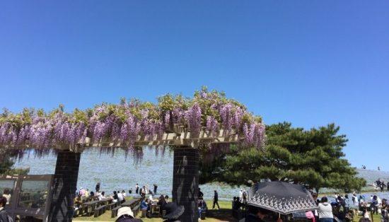 ひたち海浜公園ネモフィラと藤の花画像