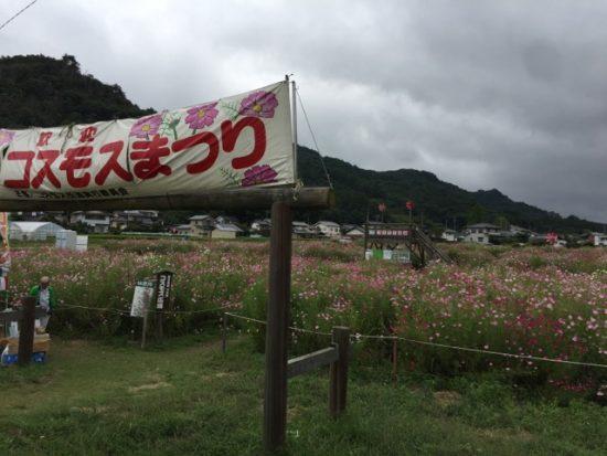 長野県佐久市コスモス街道コスモスまつり画像
