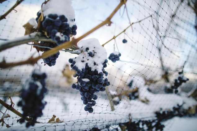 ice-wine-uva-ghiaccio