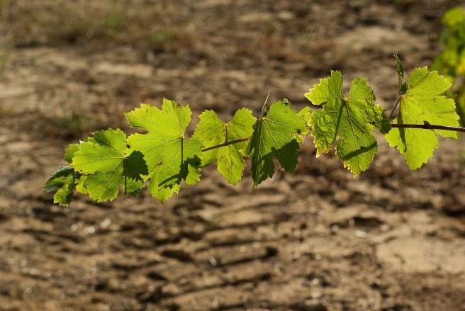adotta-vigna-foglie-filari