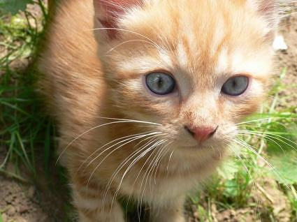 Cat breeds  Ojos Azules Information