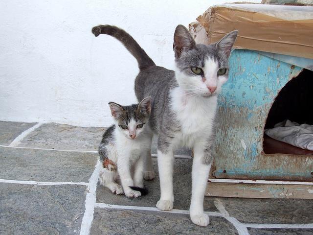 Cat breeds  Aegean cat