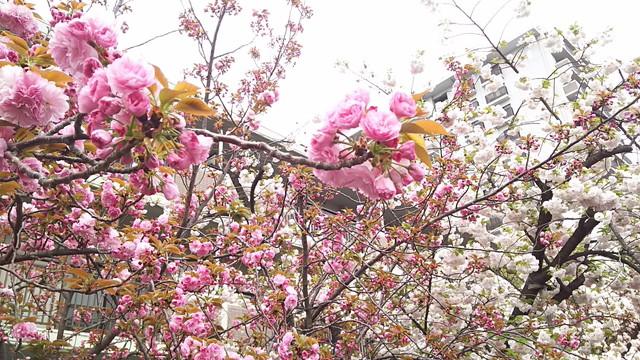 造幣局の桜3