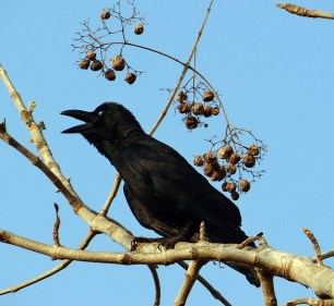 indian-jungle-crow-300942_640