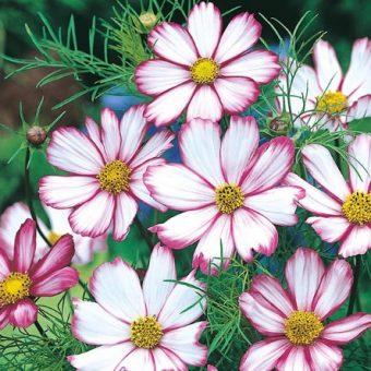 Gambar Bunga Cosmos
