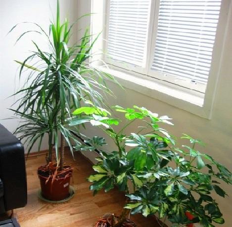 Tanaman Hias Pembersih Udara Dalam Ruangan  BibitBungacom