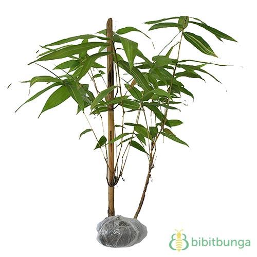 Tanaman Bambu Kuning XL
