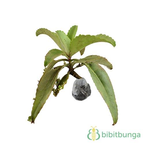 Tanaman Cocor Bebek Miracle Leaf  BibitBungacom