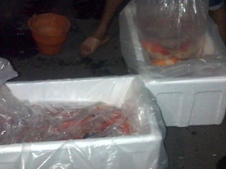 proses packing bibit ikan koi