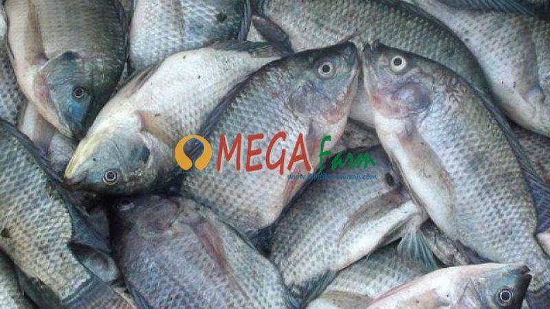 ikan nila murah