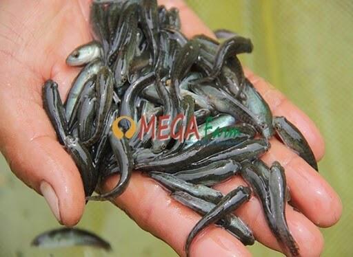 Benih Bibit Ikan Gabus