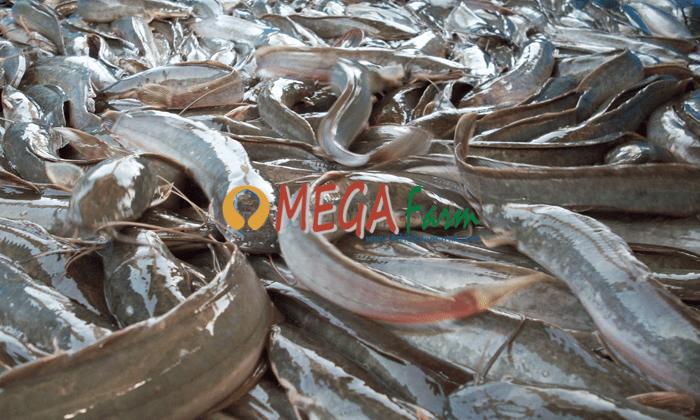 Bibit Ikan Lele Berkualitas Murah Siap Kirim