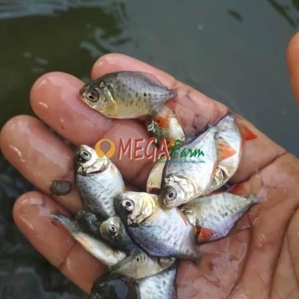 bibit ikan bawal